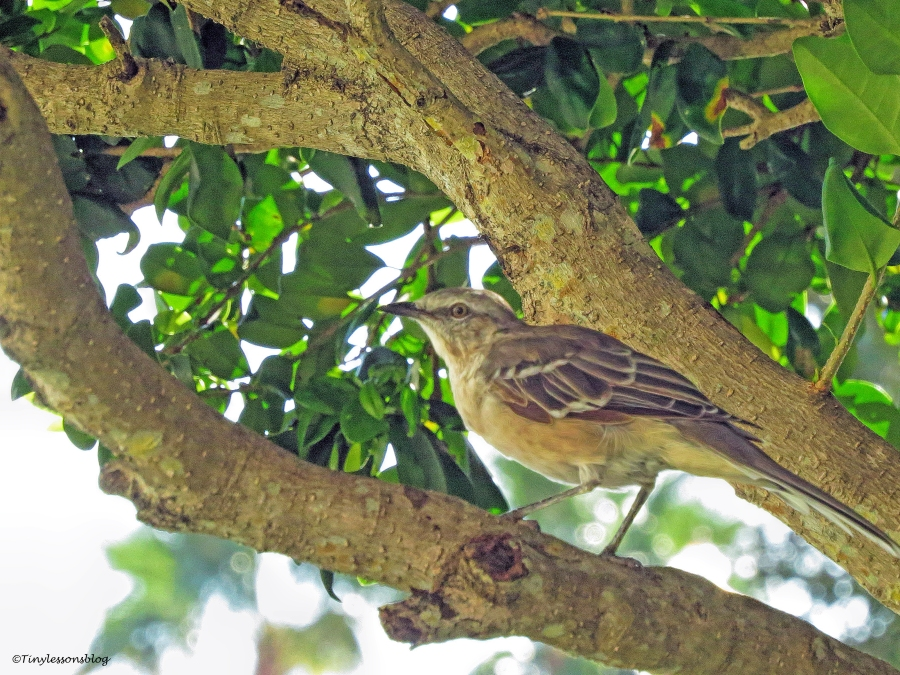 northern mockingbird ud75