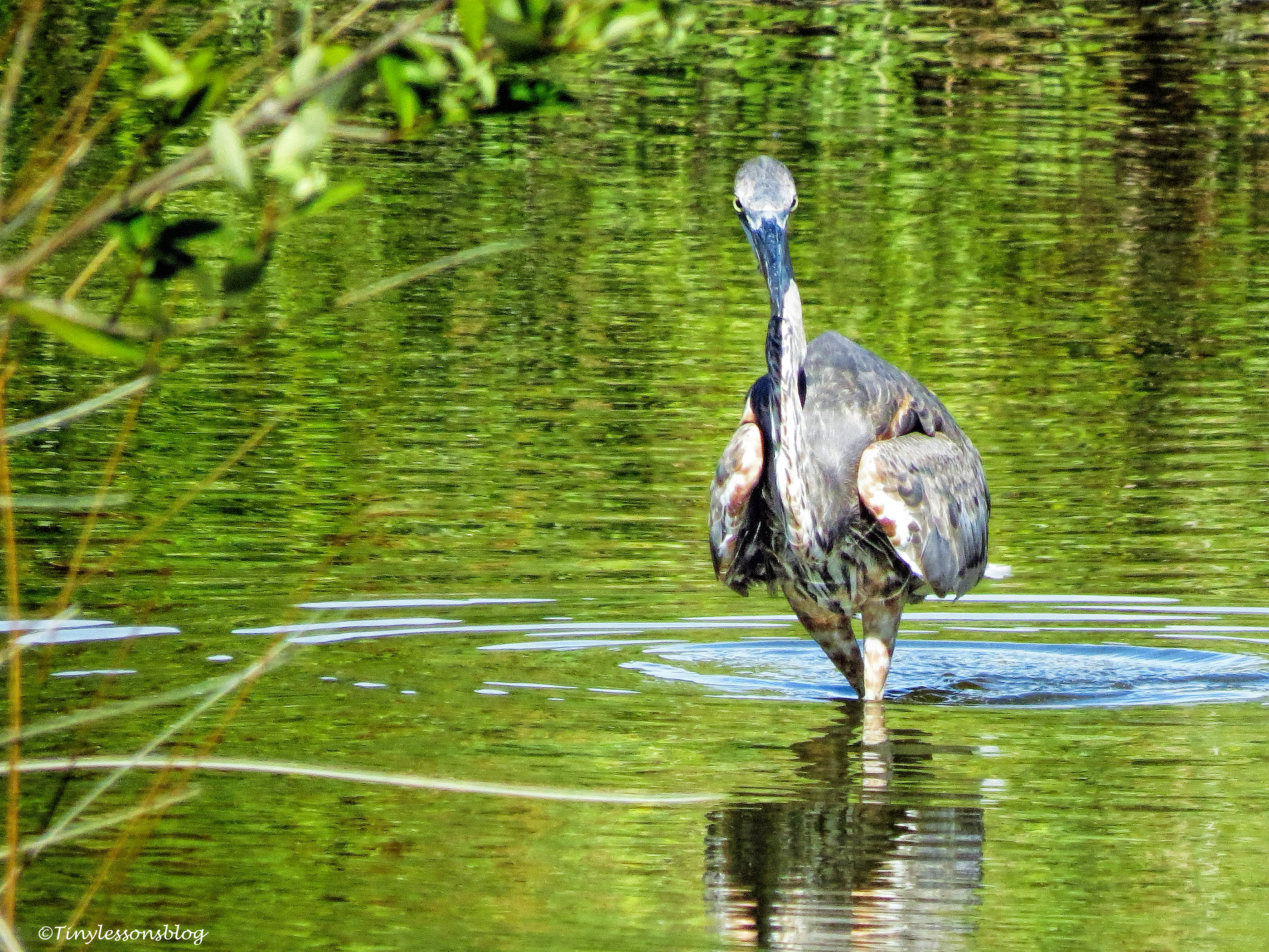 older great blue heron ud76