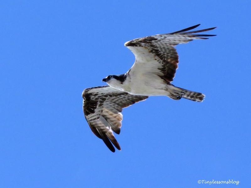 papa osprey flying with Steve UD76