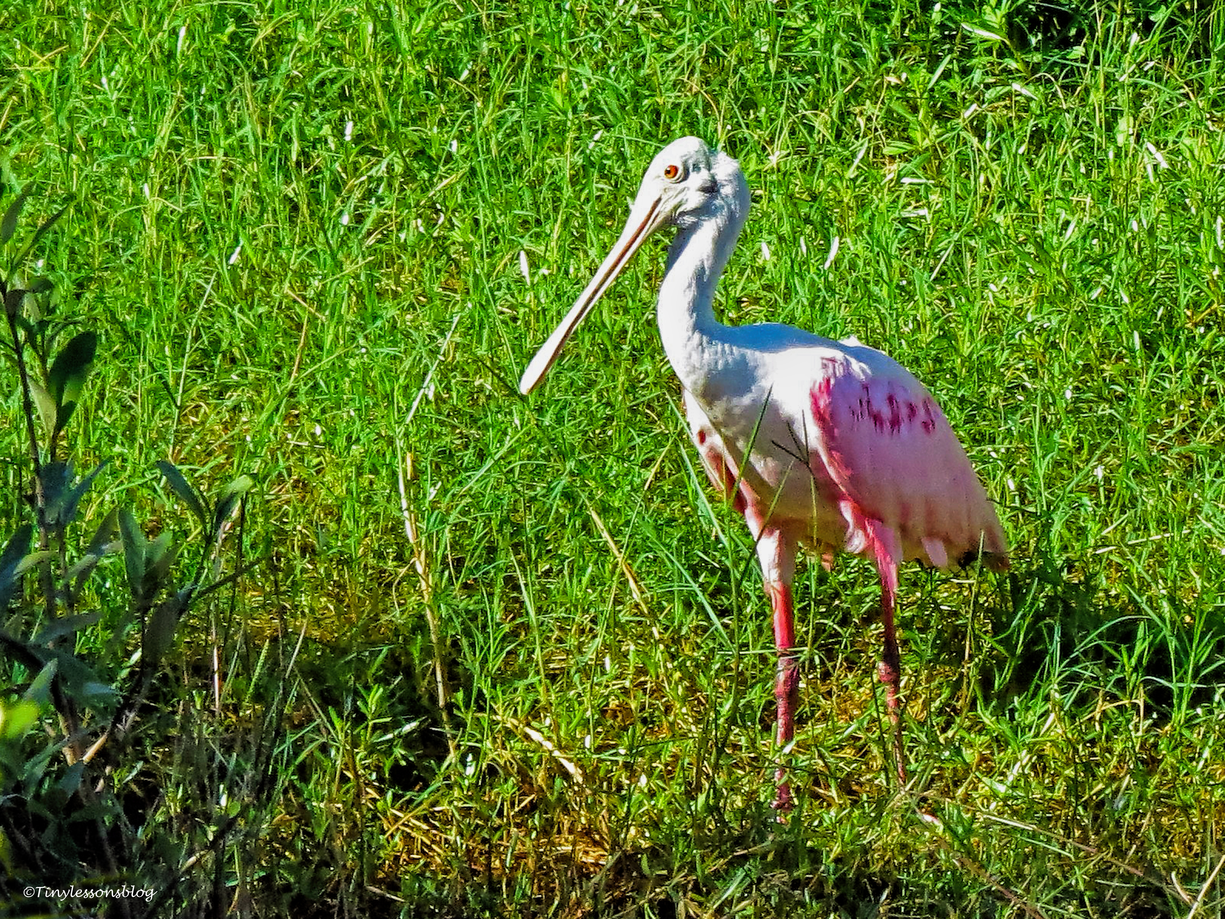 roseate spoonbill 2 ud76