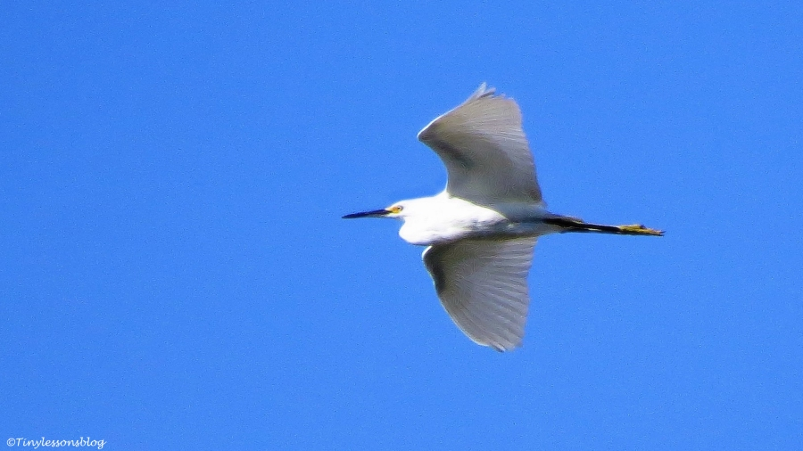 snowy egret in flight ud76