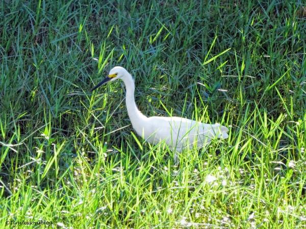snowy egret ud75