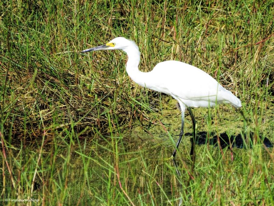 snowy egret ud76