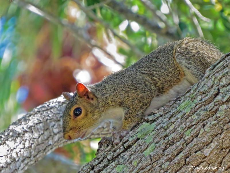 squirrel ud76