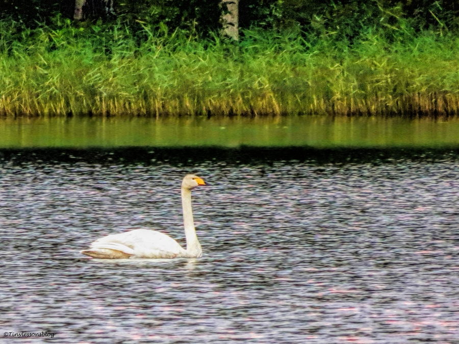 swan Finland Aug16 UD75