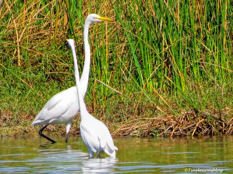 two great egrets ud76
