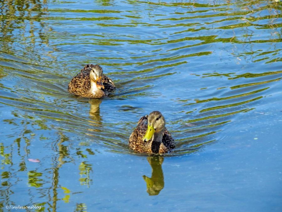 two juvenile mottled ducks ud76