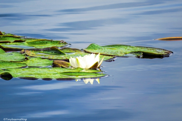 water Lily 6 Finland Aug16 UD75