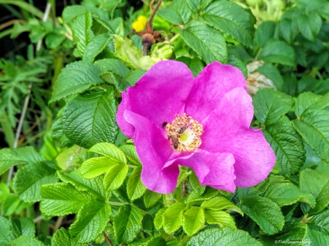 wild rose 2 Finland Aug16 UD75