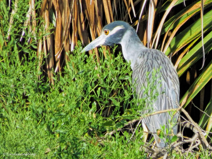young yellow-crowned night heron ud76