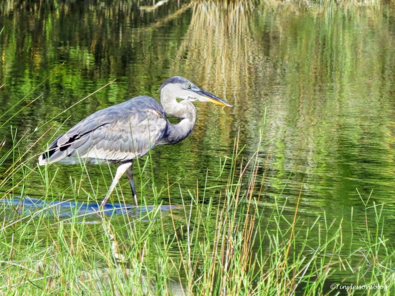 younger Blue Heron UD76