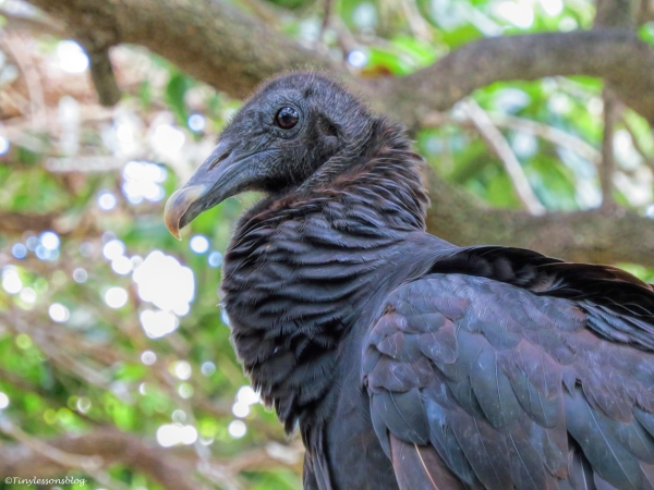 american-black-vulture-3-at-scbs-ud81