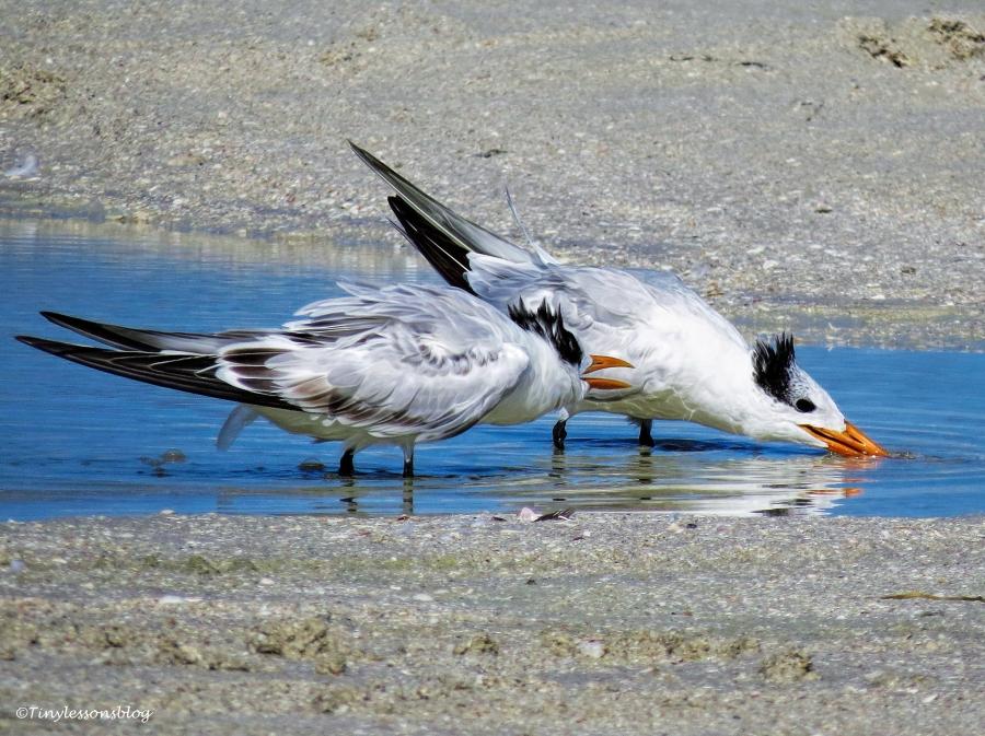 baby-and-mama-royal-tern-ud80