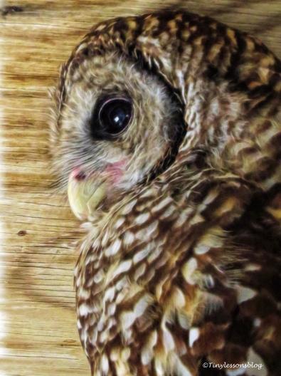 barn-owl-ud81