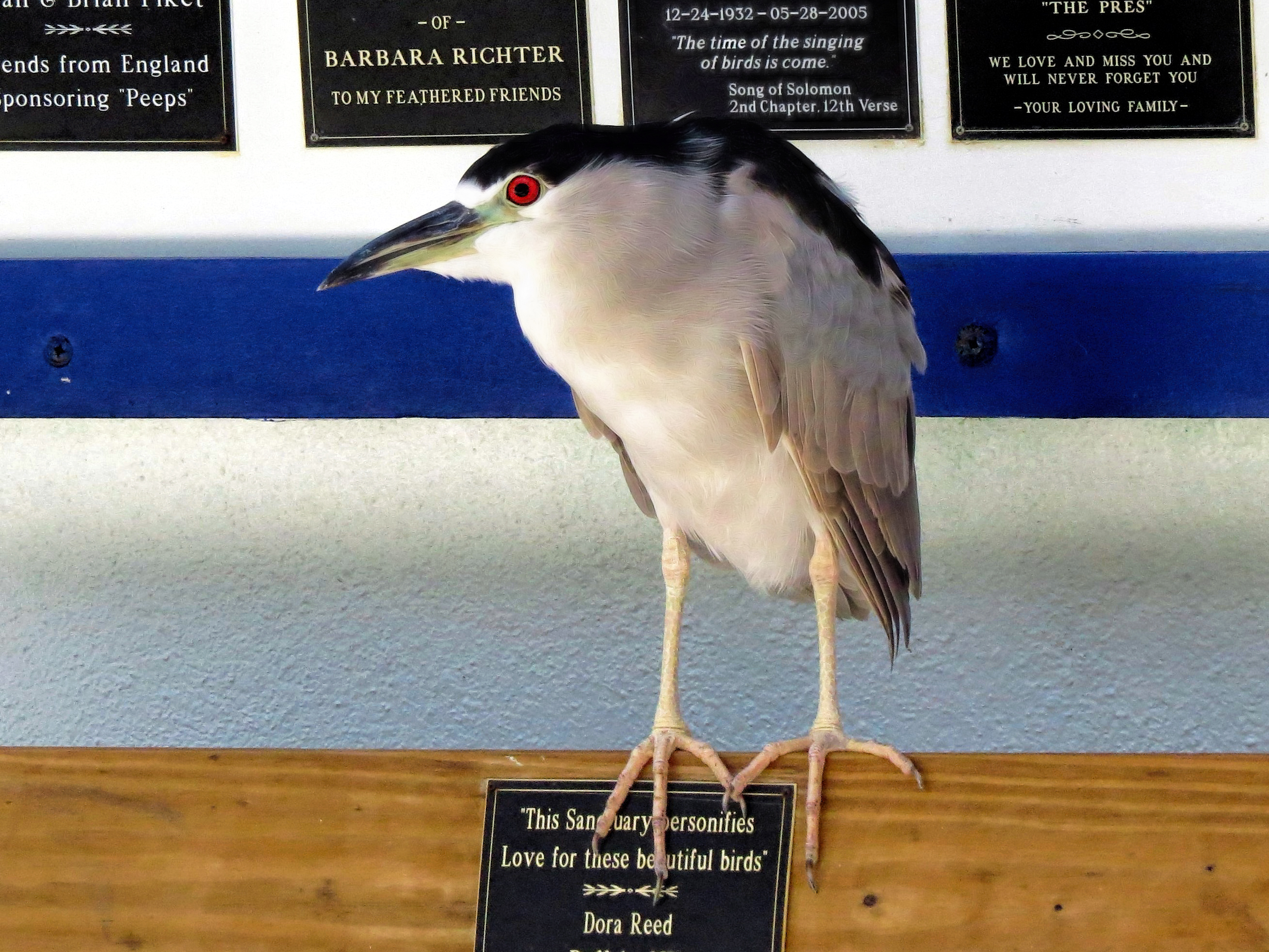 black-crowned-night-heron-at-scbs-ud81