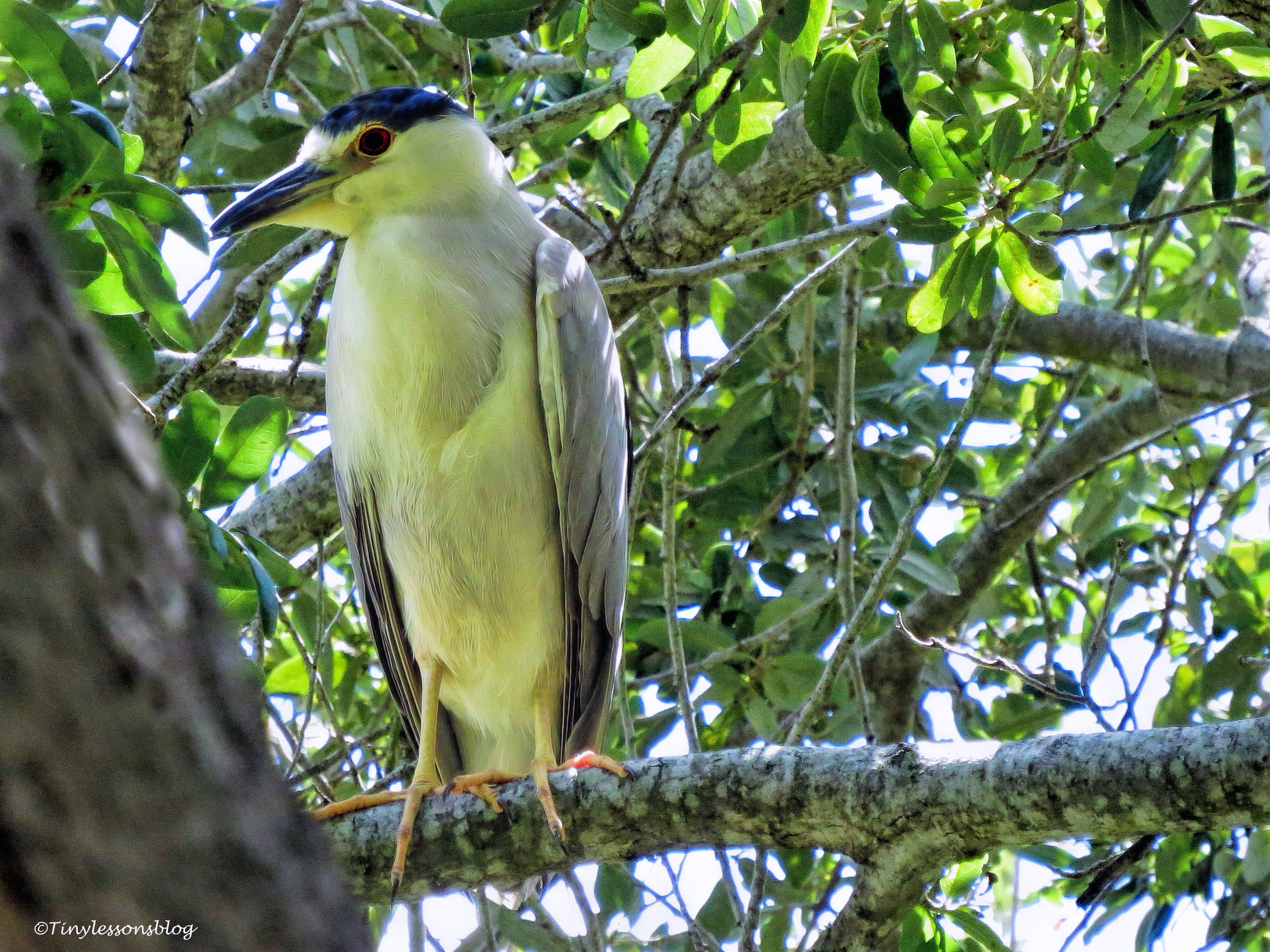 black-crowned-night-heron-ud80