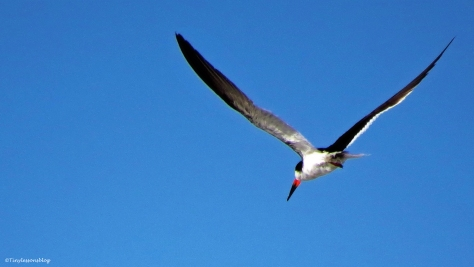 black-skimmer-in-flight-ud79