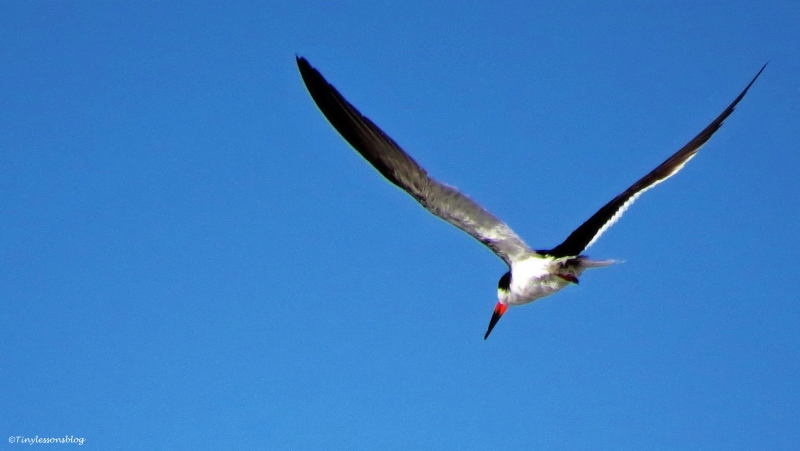 black-skimmer-in-flight-ud79