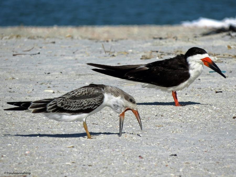 black-skimmer-juvenile-and-mom-ud79