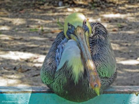 brown-pelican-scbs-ud81