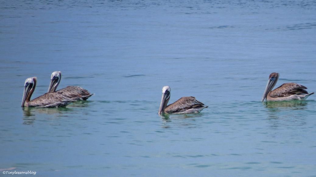 four-pelicans-16x9-ud80