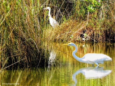 great egret and snowy egret ud80.jpg