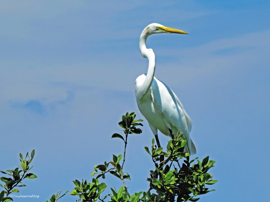 great-egret-on-the-top-ud80