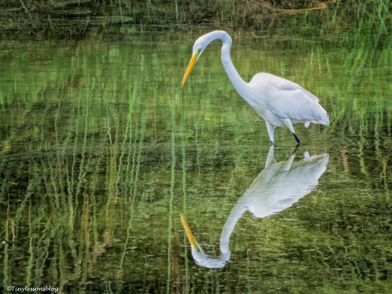 great-egret-reflection-at-sunrise-ud78