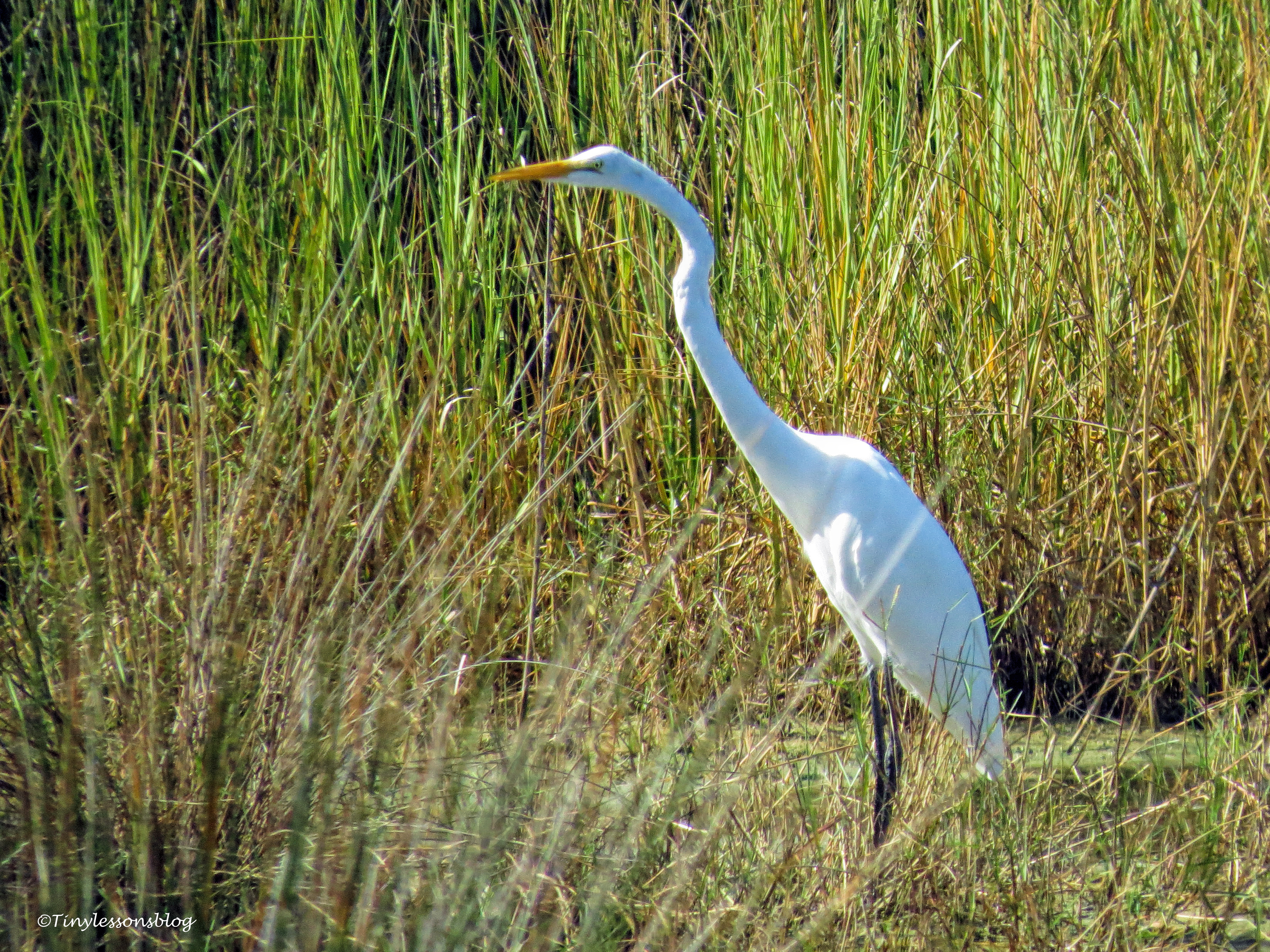 great-egret-ud80