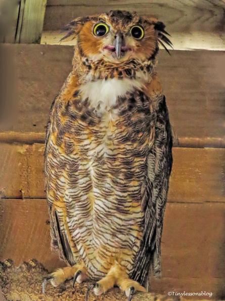 greathorned-owl-ud81