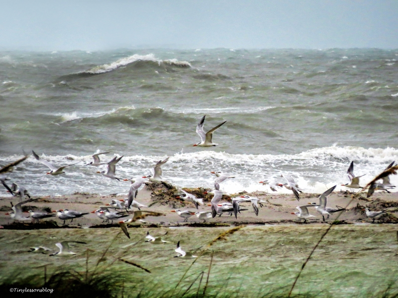 hermine gulls and waves UD77