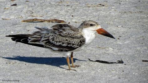 juvenile-black-skimmer-ud79