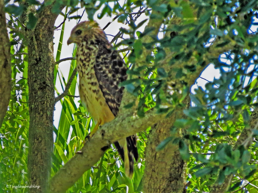 juvenile-red-shouldered-hawk-ud80