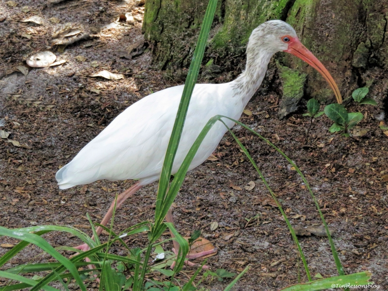 juvenile-white-ibis-at-scbs-ud81