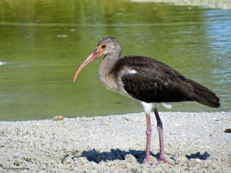 juvenile-white-ibis-ud80