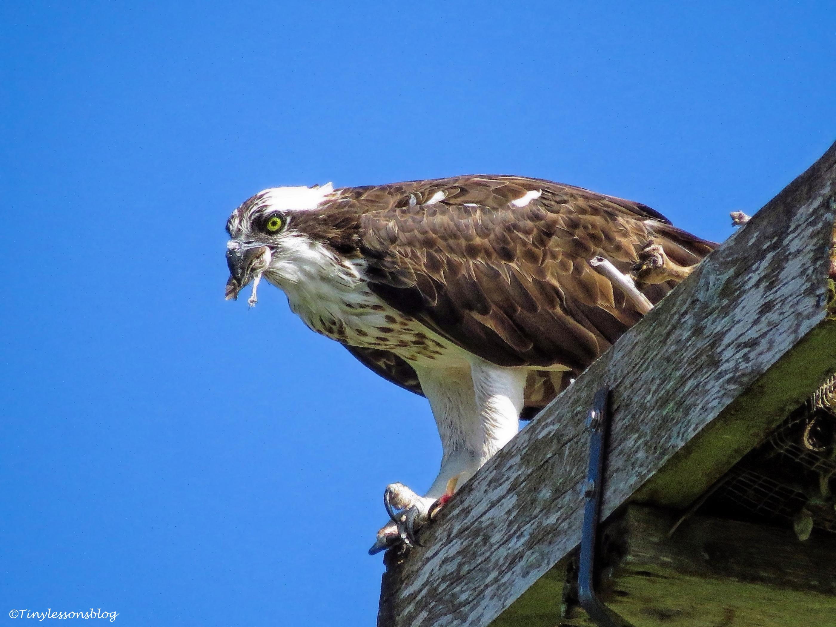 mama-osprey-eats-lunch-ud80