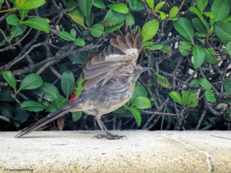 northern mocking bird UD77