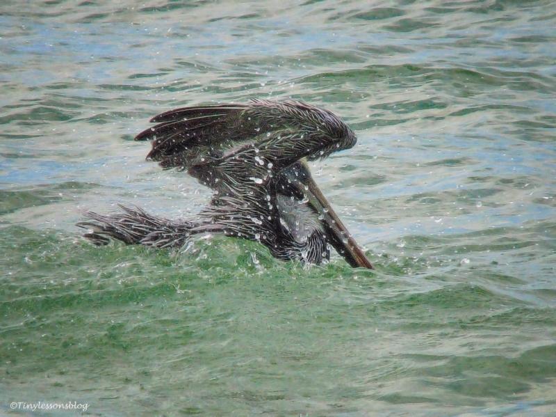pelican-bird-bathing-3-ud78