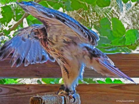 red-shouldered-hawk-2-at-scbs-ud81