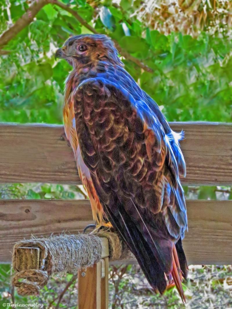 red-shouldered-hawk-at-scbs-ud81