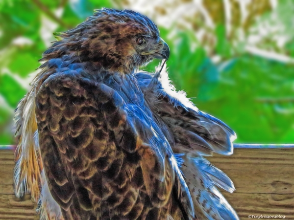red-shouldered-hawk-molting-scbs-ud81