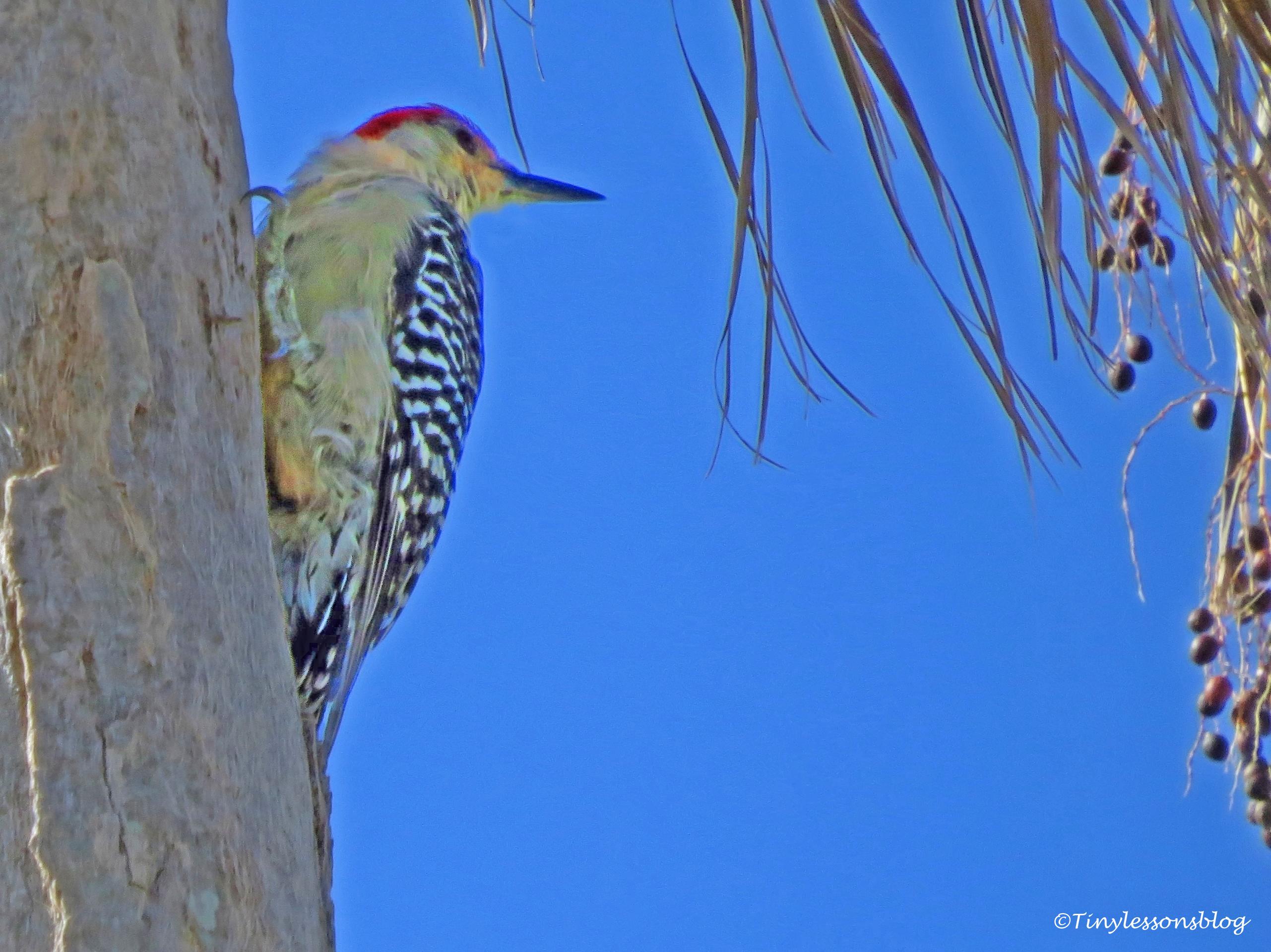 redbellied-woodpecker-2-ud80