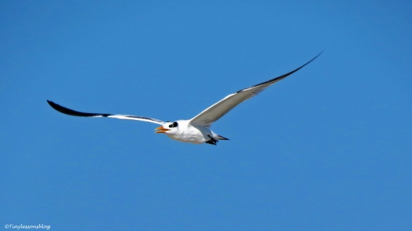 royal-tern-2-in-flight-2-ud79