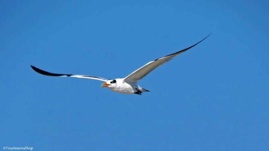 royal-tern-2-in-flight-2-ud79