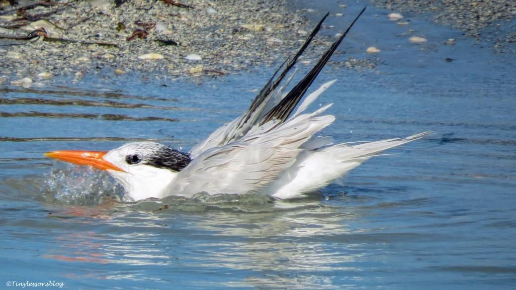 royal-tern-bathing-2-ud78