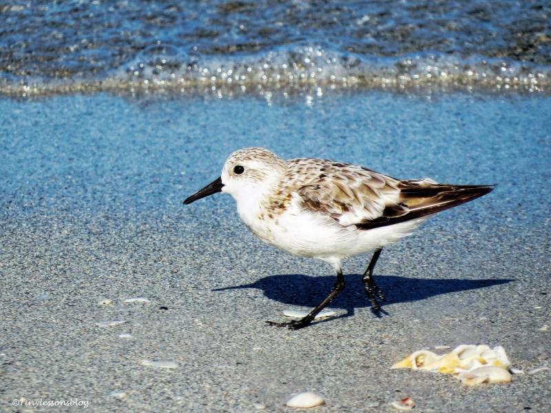 sanderling-ud79