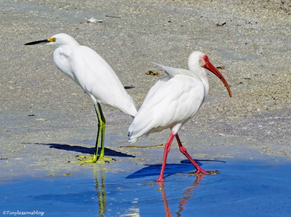 snowy-egret-and-white-ibis-ud80