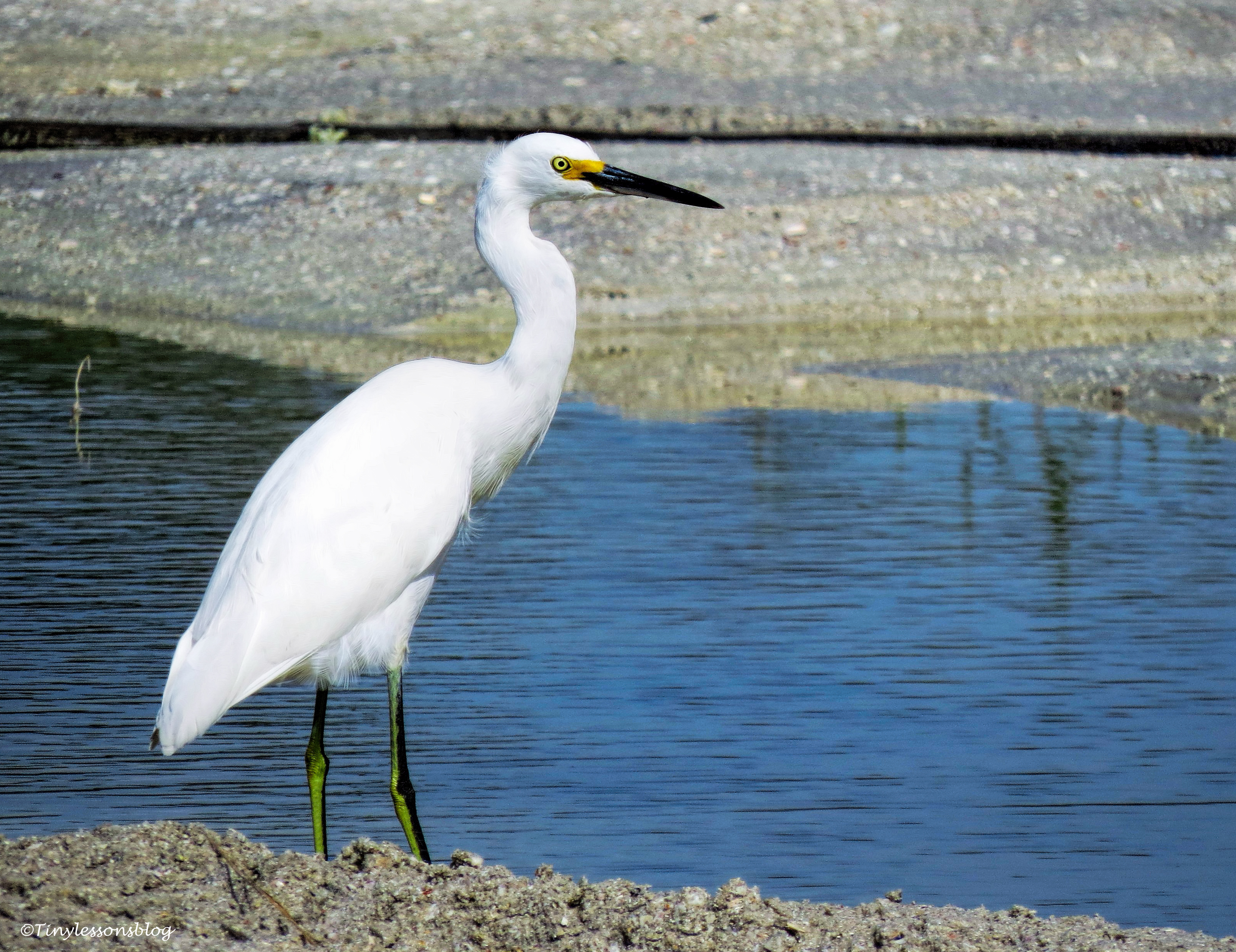 Snowy Egret at flood water pool ud80.jpg
