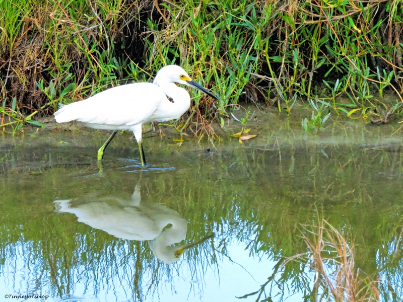 snowy-egret-reflection-at-sunrise-ud78
