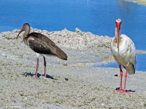 two juvenile ibis ud80.jpg